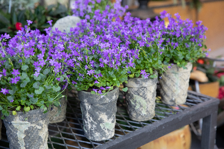 Springtime blooming potted Campanula muralis flowers or violet bellflowers on a shelf in a flower shop.