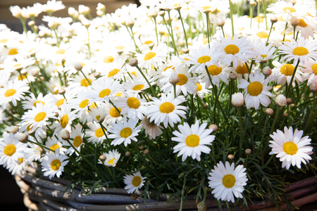 Basket of daysies Leucanthemum vulgare, commonly known as the ox-eye daisy, oxeye daisy, dog daisy blooming in springtime.
