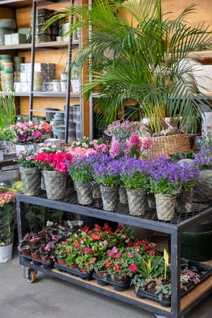 Springtime blooming potted Campanula muralis or violet bellflowers and other plants on the shelfs of greek flowers bar. Stok Fotoğraf