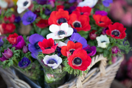 Springtime beautiful Anemone coronaria flowers in red, white, magenta, blue colors. Stok Fotoğraf