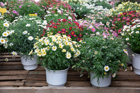Springtime variety of potted daisies in the flowers bar.