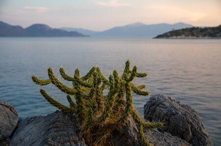 Summertime evening cactus growing on the shore of the beach of Aponissos, Agistri island, Saronic gulf, Greece. Horizontal.