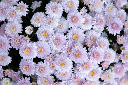 Light pink chrysanthemum flowers. Floral background. Horizontal. Close-up. Top view.