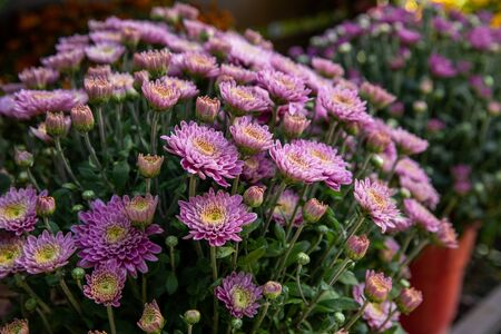 Light violet chrysanthemum flowers. Floral background. Flowers at the greek garden shop in October. Horizontal. Close-up. Imagens
