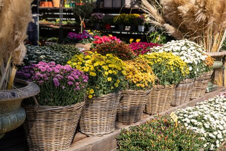 Variety of potted chrysanthemum plants at the greek garden shop in October. Horizontal. Stock fotó