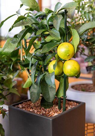 Dekorativer Zitronenbaum in einem Topf im griechischen Gartenladen im November.