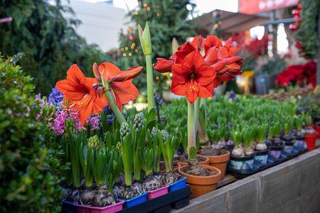 Doniczkowe czerwone rośliny Amarylis lub Hippeastrum kwitnące w greckim sklepie ogrodniczym w grudniu. Zdjęcie Seryjne