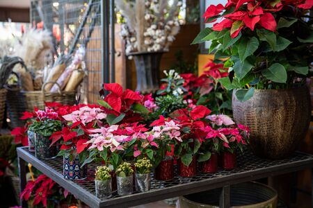 Potted pink and red poinsettia or Euphorbia pulcherrima Christmas traditional flowers in the greek flowers bar.