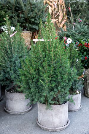 Pretty bushy European Christmas trees - potted picea glauca Conica trees at the greek garden shop - shop Christmas decorations - gifts.
