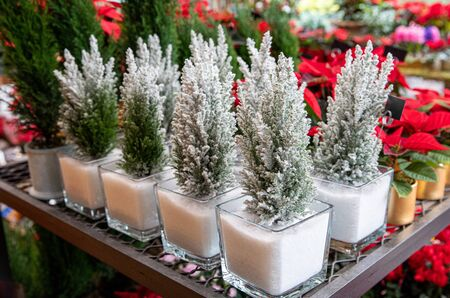 Chamaecyparis lawsoniana Ellwoodii cypress trees in small pots decorated with artificial snow on the shelve at greek garden shop in December.