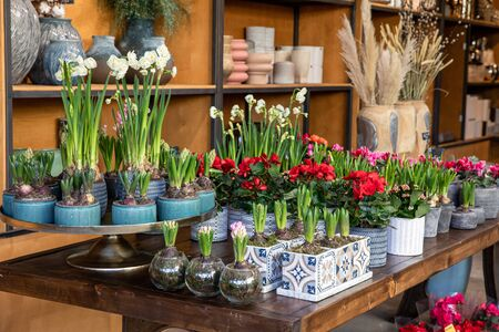 Variety of spring decorative beautiful potted plants such as hyacinth bulbs, flowering white daffodil and red begonia on the wooden table at the greek flowers garden shop. Horizontal. Archivio Fotografico