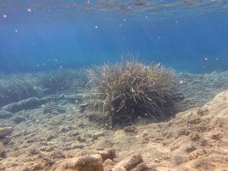 UNDERWATER life off the Kastos island coast, Ionian Sea, Greece - seaweeds in summer.