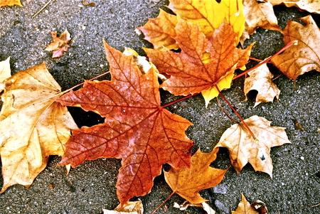 グレーの道路に分離された色鮮やかな紅葉が美しい 写真素材