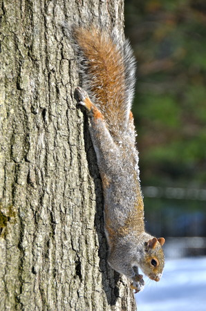 Squirrel of the Central park in winter  Manhattan  New York   photo