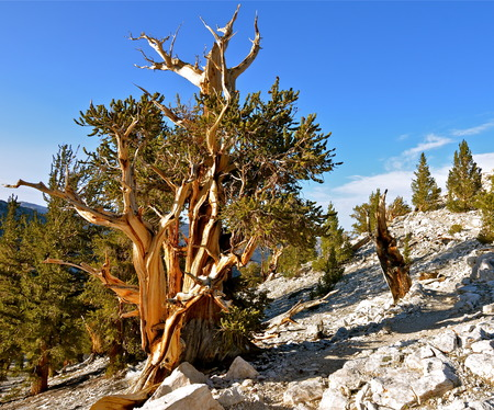 sierras: Worlds oldest trees in the White Mountains of California, USA