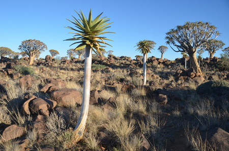 flowering aloe: Quiver tree Aloe dichotoma, Namibia