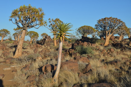 dichotoma: Quiver tree Aloe dichotoma, Namibia