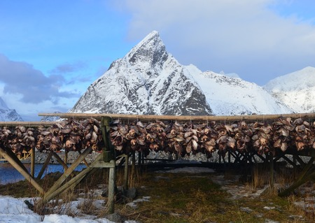 stockfish: Drying of stockfish on Lofoten islands in Norway during the winter