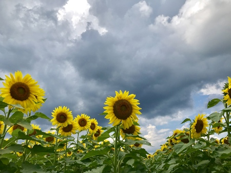Sunflowers farm in New York State Stock fotó