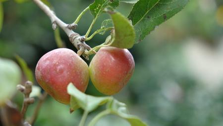 culture: apple tree  pot culture