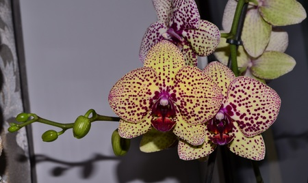 developed: Tiger orchid is a type of orchid phalaenopsis. Once it more in size and color have tiger coloring. She has a very well developed root system compared to conventional orchid.