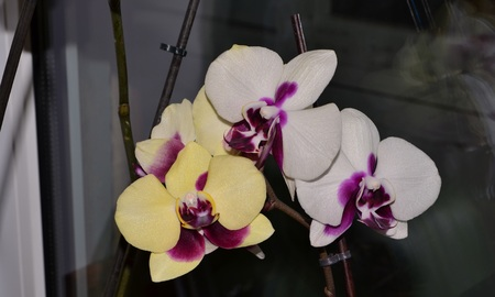 proper: Phalaenopsis Orchid. Very beautiful exotic plant that blooms profusely throughout the year with proper care and pleases others. Stock Photo