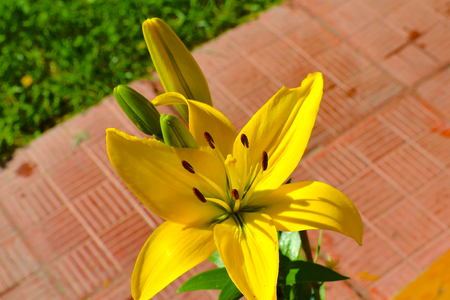 stench: Yellow lily Bulbous plant with a straight stem Stock Photo