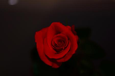 unendlich: Sehr elegant stieg. Die Bl�tenbl�tter haben eine matte und samtige Textur. Haben eine sehr hohe Spitze und ungew�hnliche F�rbung. Rote Rose in der Nacht sieht sehr geheimnisvoll und fantastisch. Ihre samtige Bl�tenbl�tter �hneln Samt, die unendlich r�hrend will Lizenzfreie Bilder