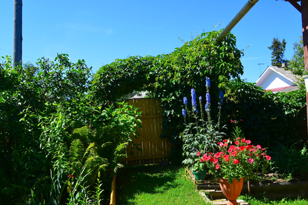 unnecessary: Landscape design. With wild grapes can hide fences gates or walls of the old house. Through him all hide unnecessary and will not be available. It is growing very strongly so during the summer it must be trimmed. Stock Photo