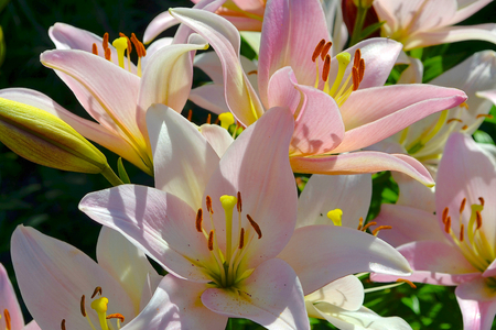 stench: Pink lily. Bulbous plant with a straight stem and large beautiful flowers bellshaped has a very strong odor. Stock Photo
