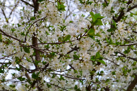 bleak: Cherry blossom. Spring transforms everything. Even the dull gray buildings in the city surrounded by flowering trees and shrubs which makes them more attractive and not as bleak as winter. Because of the abundant flowering cherry is not seen even the buil