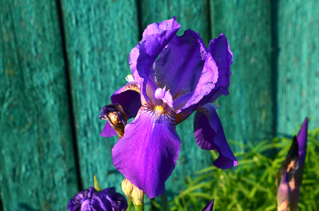 bask: Iris. Irises popularly called cockerels. They bloom in spring and bask in the spring sun. a stylized lily composed of three petals bound together near their bases. It is especially known from the former royal arms of France in which it appears in gold on