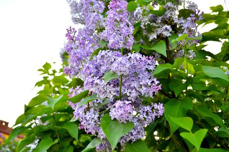 Flieder. Großer Garten Strauch Mit Lila Lila Oder Weißen Duftenden ...