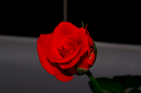 velvety: Red rose. Very elegant rose. The petals have a matte and velvety texture. Have a very high spike and unusual coloring. Red rose at night looks very mysterious and fantastic. Her velvety petals resemble velvet which wants infinitely touching Stock Photo