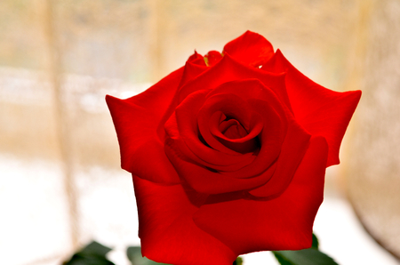 infinitely: Red rose. Very elegant rose. The petals have a matte and velvety texture. Have a very high spike and unusual coloring. Red rose at night looks very mysterious and fantastic. Her velvety petals resemble velvet which wants infinitely touching Stock Photo