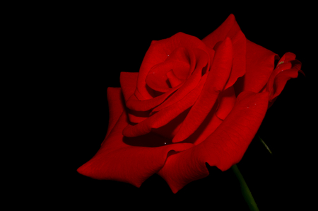 unendlich: Rote Rose. Sehr elegant stieg. Die Bl�tenbl�tter haben eine matte und samtige Textur. Haben eine sehr hohe Spitze und ungew�hnliche F�rbung. Rote Rose in der Nacht sieht sehr geheimnisvoll und fantastisch. Ihre samtige Bl�tenbl�tter �hneln Samt, die unendlich r�hrend will