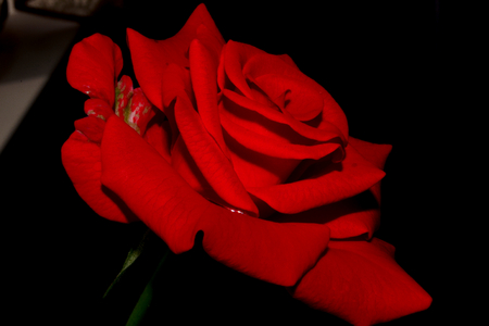 wants: Red rose. Very elegant rose. The petals have a matte and velvety texture. Have a very high spike and unusual coloring. Red rose at night looks very mysterious and fantastic. Her velvety petals resemble velvet which wants infinitely touching Stock Photo
