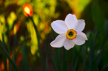 even: Narcissus. Garden bulbous plant with white or yellow fragrant and beautiful flowers. The core of the flower is not the usual form. On the beauty of this flower even wrote a legend.