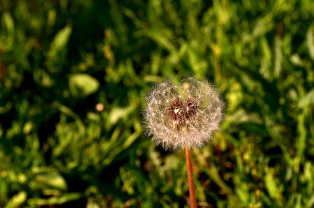amounts: Dandelion. Plant with yellow flowers and seeds with fluffy hairs borne by the wind dandelion grows like a weed in large amounts.