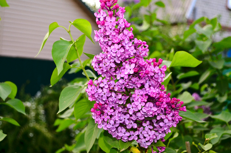 attracts: lilac. Large garden shrub with purple lilac or white fragrant flowers. Lilac attracts bees to collect nectar. To blossom in early spring and very abundant flowering.