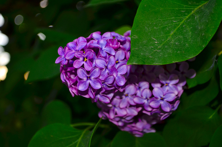 abundant: lilac. Large garden shrub with purple lilac or white fragrant flowers. Lilac attracts bees to collect nectar. To blossom in early spring and very abundant flowering.