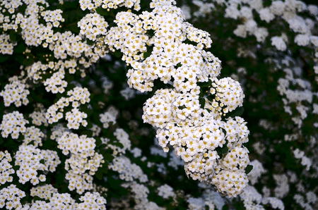 clusters: Spirea. Perennial shrub with woody branches, belongs to the family Rosaceae. Flowers in spring, the white spiraea and collected in umbellate inflorescences. In May, the whole bush spirea covered snow-white cloud from a variety of flower clusters under the