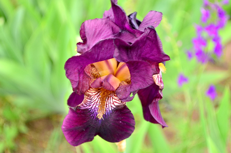bask: Iris. Irises popularly called cockerels. They bloom in spring and bask in the spring sun. a stylized lily composed of three petals bound together near their bases. It is especially known from the former royal arms of France, in which it appears in gold on Stock Photo