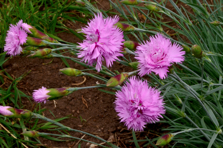 bisexual: Dwarf carnation. Carnation - beautiful flower refined form, called divine. Carnation flower - a bisexual plant and it blooms one connected. Leaves - narrow, their color varies from green to gray-blue or purple
