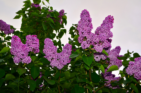attracts: Lilac. Large garden shrub with purple, lilac or white fragrant flowers. Lilac attracts bees to collect nectar. To blossom in early spring and very abundant flowering.
