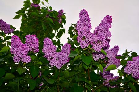 Lilas. Grand Arbuste De Jardin De Lilas Violet Ou Fleurs Blanches ...