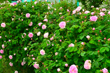 resemble: Tea rose. garden rose with flowers that have a delicate scent said to resemble that of tea. From tea rose petals can prepare a delicious jam. And the petals added to tea for a rich aroma and taste.