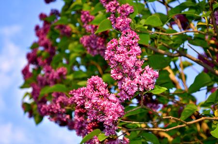 Lilas Blanc. Grand Arbuste De Jardin Avec Des Fleurs Parfumées ...