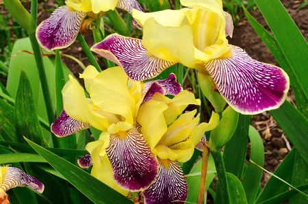 appears: Iris. Irises popularly called cockerels. They bloom in spring and bask in the spring sun. a stylized lily composed of three petals bound together near their bases. It is especially known from the former royal arms of France, in which it appears in gold on Stock Photo