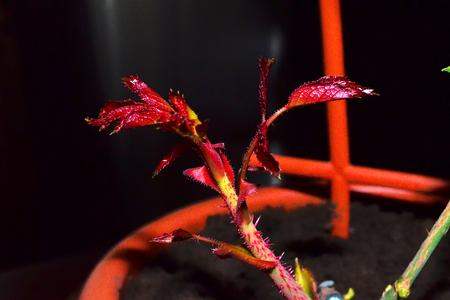 eventually: Rose Rame. Il giovane pianta germogli che si estende dal fusto o root. Casa la vita delle giovani piante, che si trasforma poi in un fiore elegante e bella.